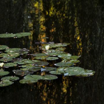 Reflet de saule à l'automne